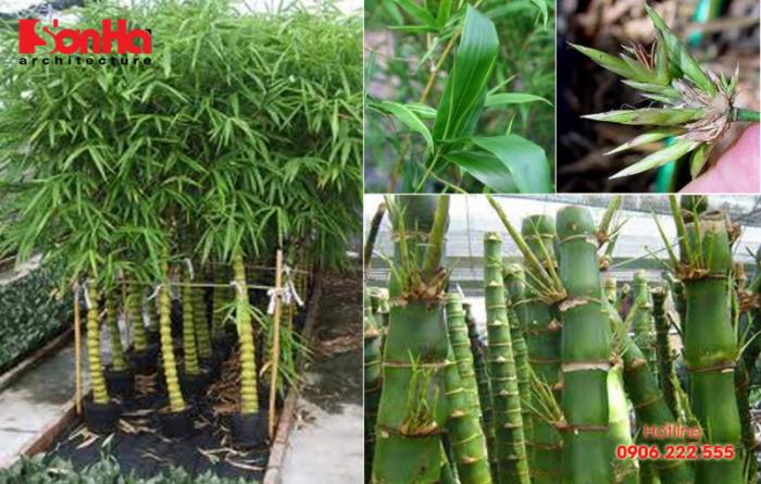 Đây là loại cây có sức sống bền bỉ và có tác dụng mang lại bình yên cho gia chủ