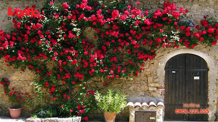 Hoa hồng leo cũng là lựa chọn không tồi về cây dây leo phong thủy
